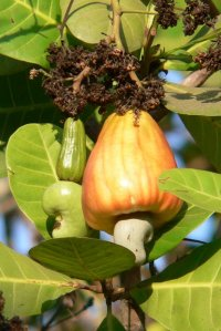 "Cashew Fruit, aka ""Poet Poison"""